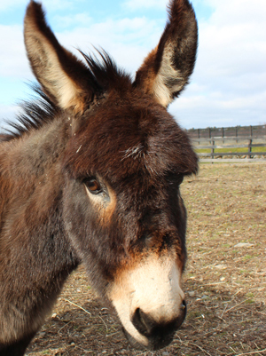 Alice_-rescued-Miniature-Donkey