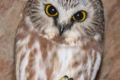 Owl-cropped
