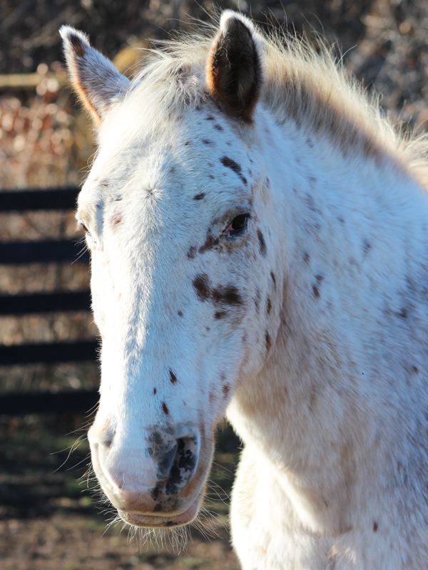 Appaloosa at Equine Advocates