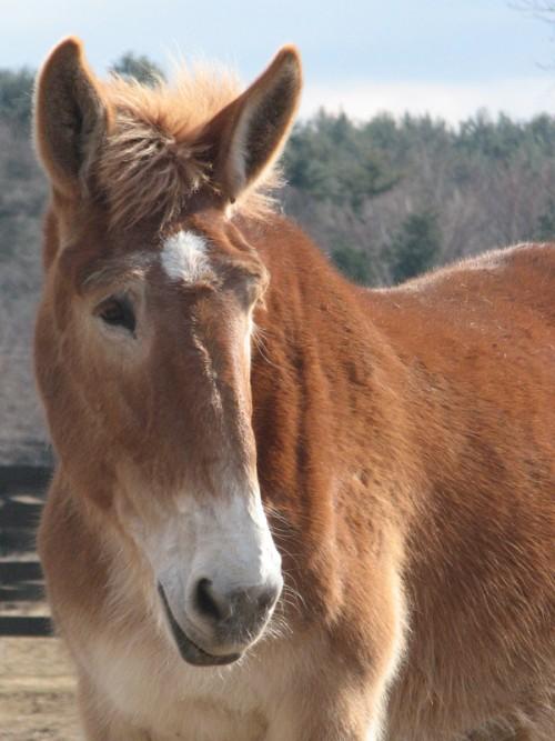 Mule at Equine Advocates