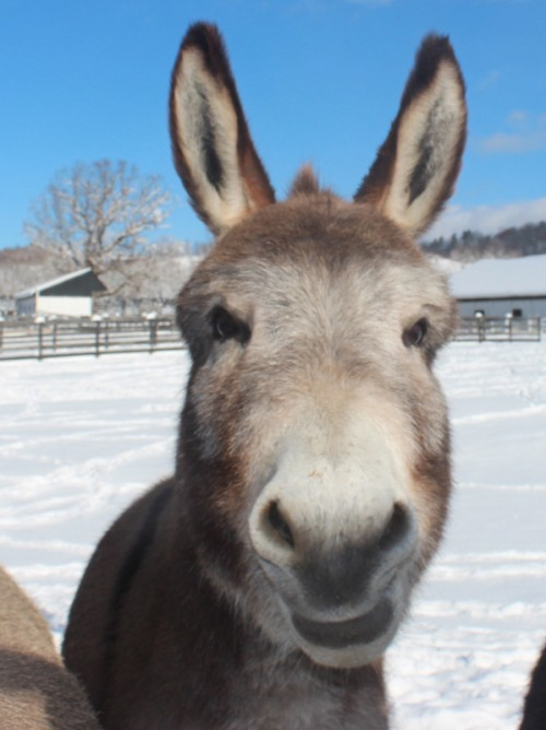 Miniature Donkey at Equine Advocates