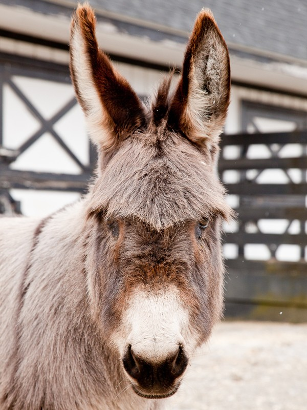 Miniature Donkey at Equine Advocates