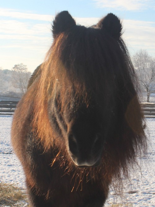 Miniature Horse at Equine Advocates
