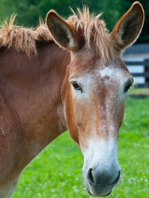 Mule at Equine Advocates