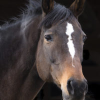 How the GAO Deceived Congress and Opened the Way for the Return of Horse Slaughter to the U.S