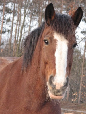 Clydesdale at Equine Advocates