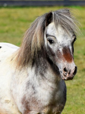 Miniature Horse at Equine Advocates