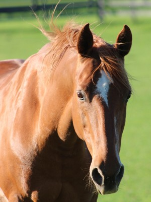 Saddlebred at Equine Advocates