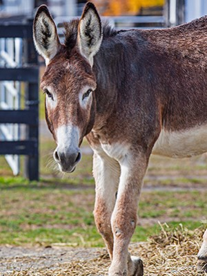 Donkey at Equine Advocates