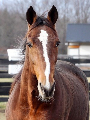 Standardbred at Equine Advocates