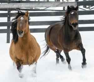 Hayden & Nelson, American Wild Mustangs