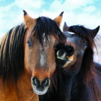 Wild Horse Crisis – Your Action Is Urgently Needed