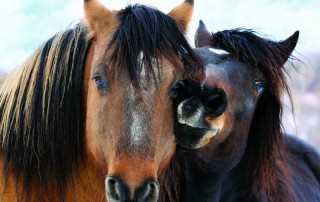 Wild American Mustangs
