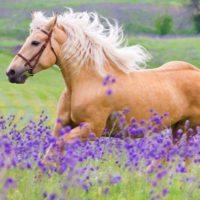 Secrets Out! Lavendar Helps Calm Equines