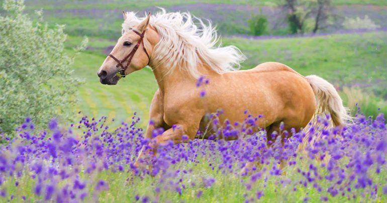 You are currently viewing Secrets Out! Lavendar Helps Calm Equines