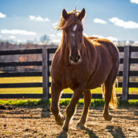 Should Your Equine Exercise on an Empty Stomach?
