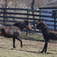 Nelson Meets Pedro, Hayden Moves to the Barn!