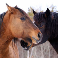 TAKE ACTION NOW: America's Wild Equines Need Your Help